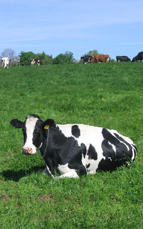 cow_scaled_0878_web.jpg